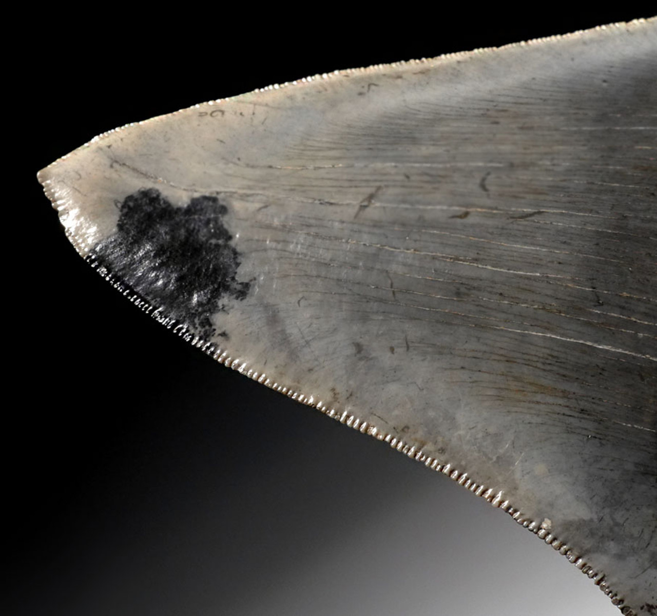 SH6-291 -  INVESTMENT CLASS NEARLY 6 INCH MEGALODON SHARK TOOTH