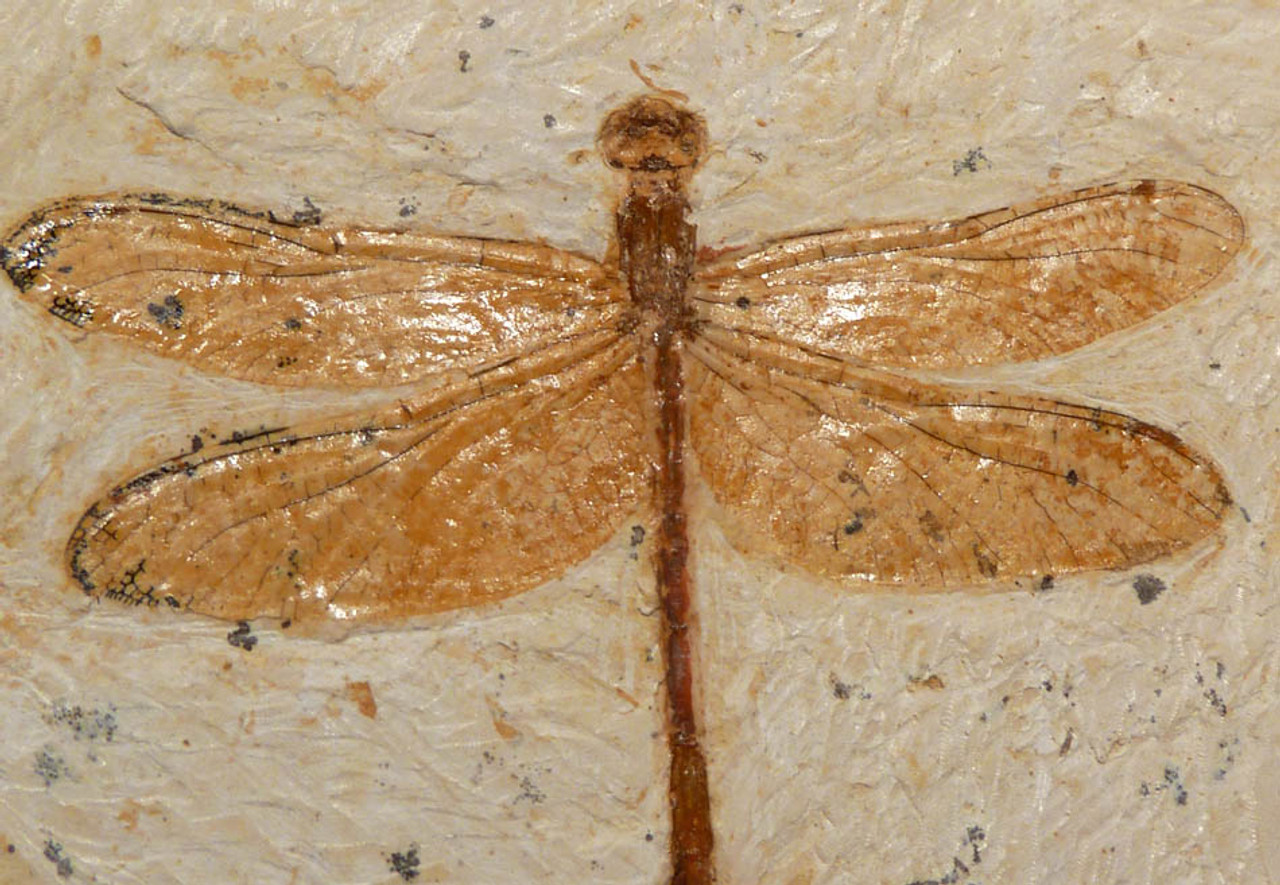 IN007 - LARGE CRETACEOUS INSECT DRAGONFLY FOSSIL WITH SPECTACULAR DETAIL RARELY SEEN