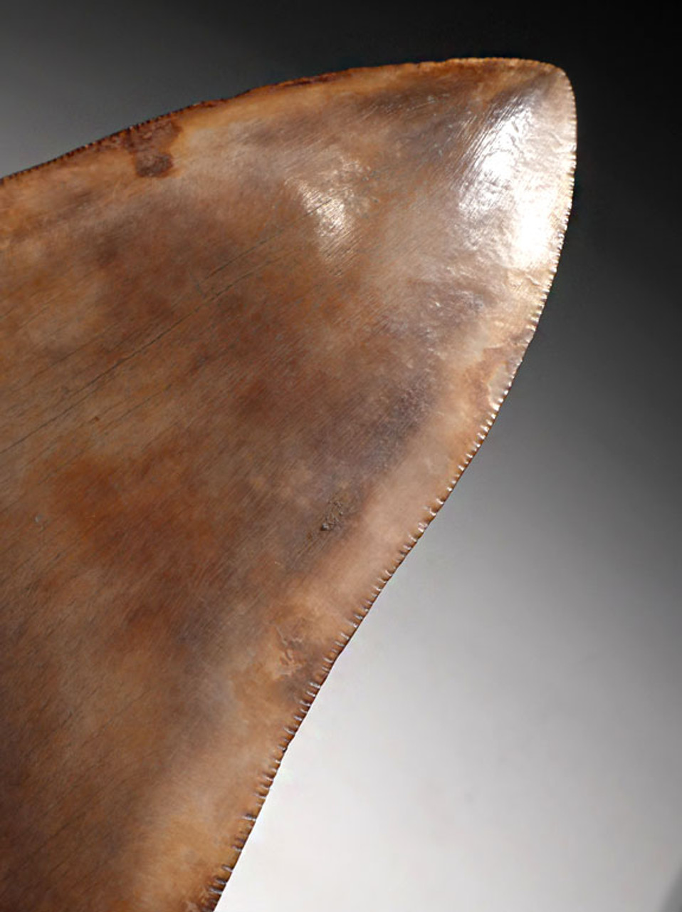SH6-287 -  LARGE 5.3 INCH MEGALODON SHARK TOOTH WITH STEEL GRAY AND COPPER REFLECTIVE ENAMEL