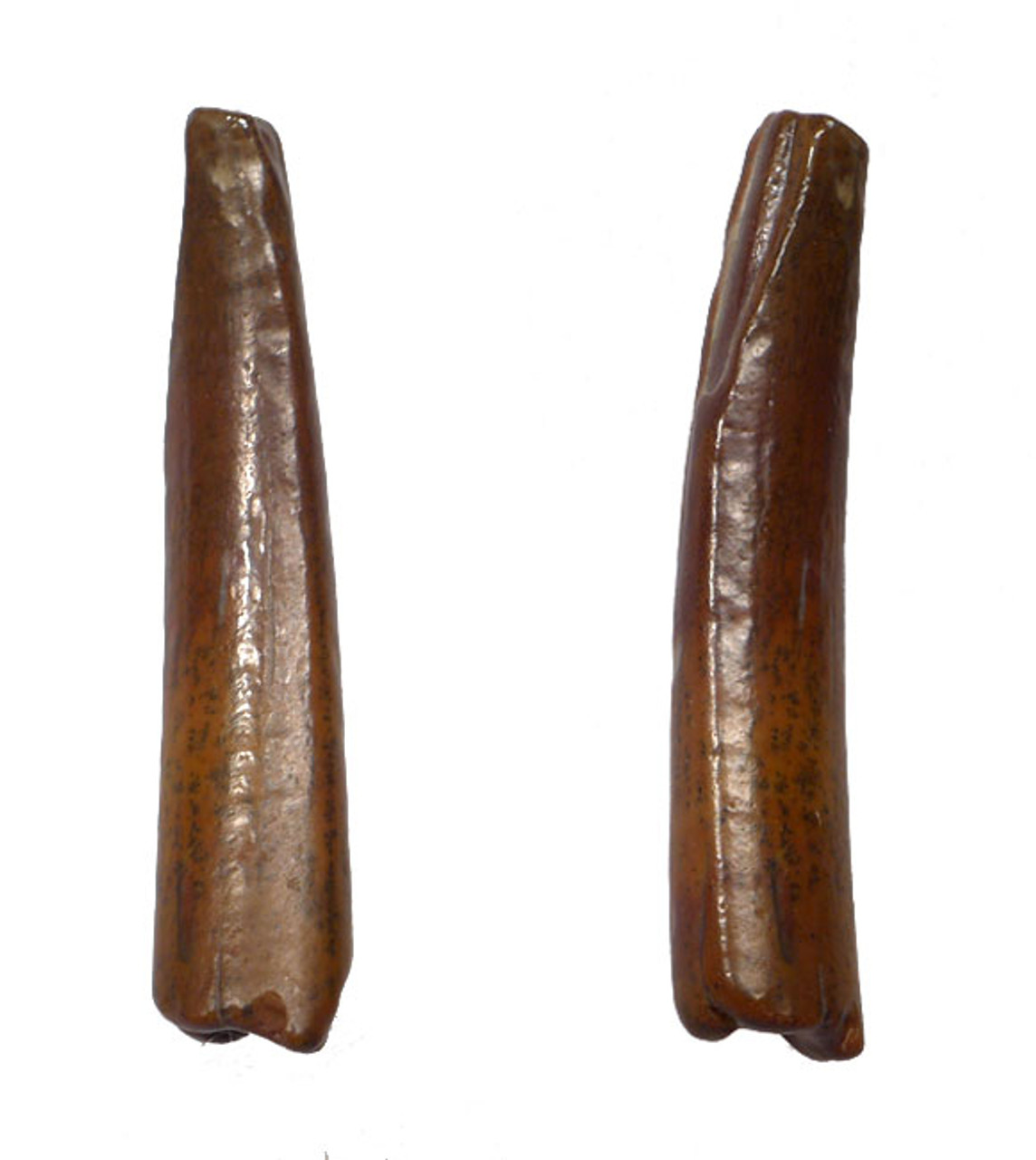 DTX003 - INCREDIBLY RARE TOOTH FROM A LARGE PTEROSAUR FROM THE TENERE DESERT