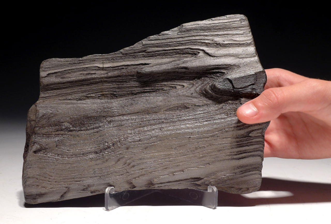 PL143 -  MIOCENE PETRIFIED WOOD IN LIFELIKE NATURAL FORM FROM EUROPE