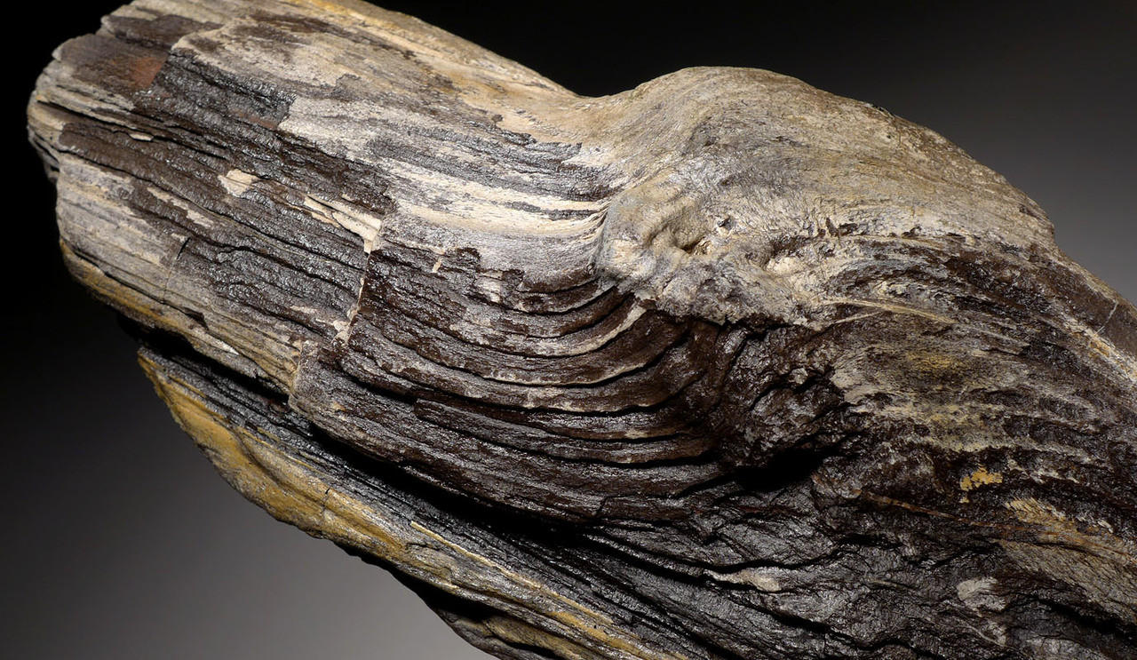 PL146 - INCREDIBLE MIOCENE FOSSILIZED WOOD GRAIN PETRIFIED PERMINERALIZED LOG FROM EUROPE