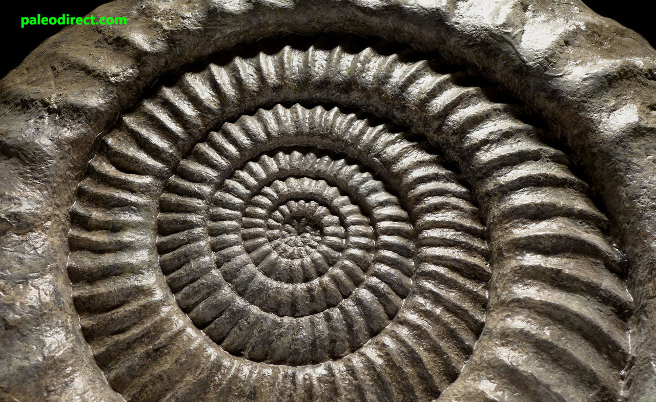 AMX357 - FINEST LARGE ARIETITES AMMONITE FROM THE JURASSIC PERIOD OF FRANCE