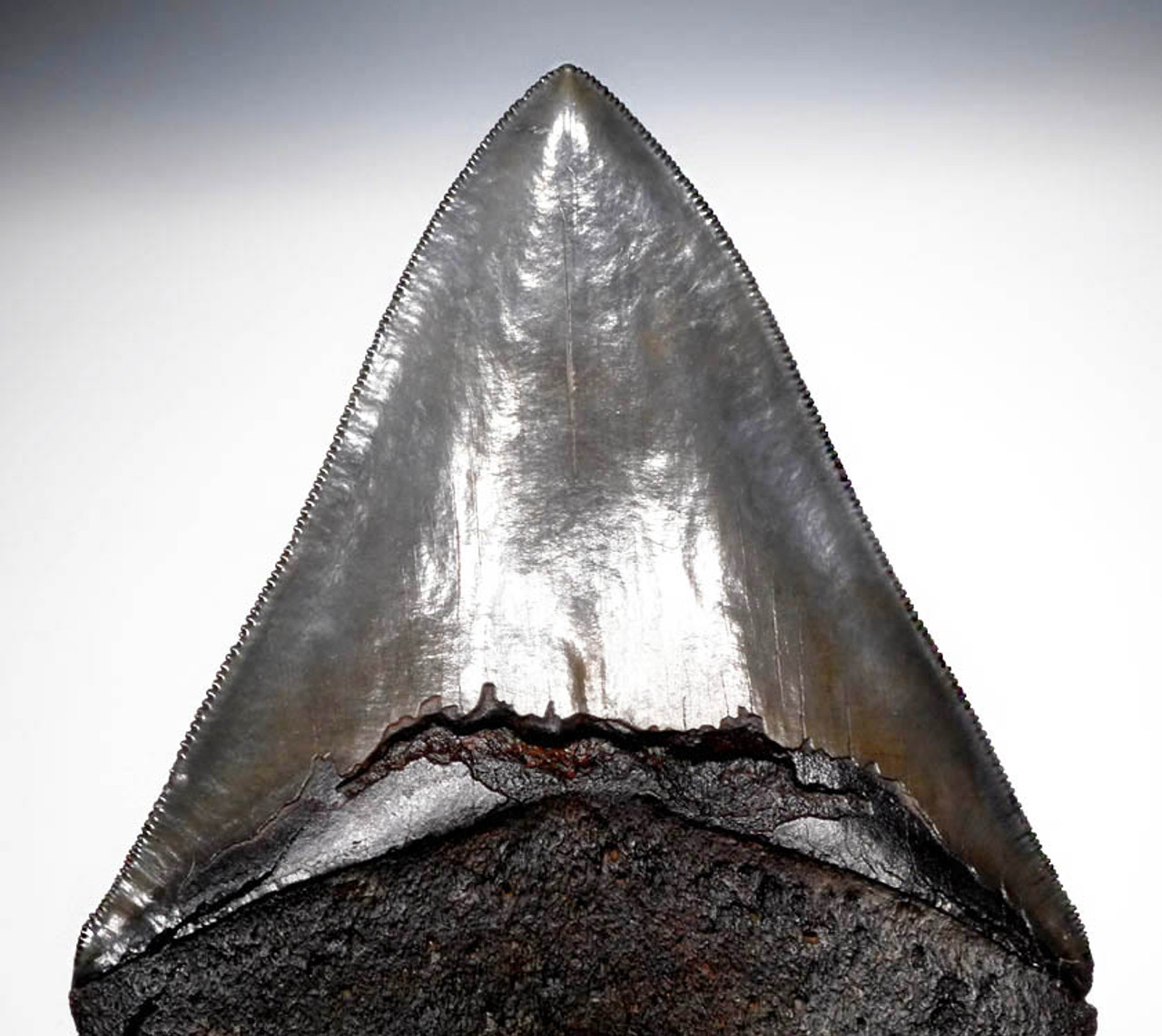 SH6-268 - CHOICE GRADE 5.15 INCH MEGALODON SHARK FOSSIL TOOTH WITH BLUE AND OLIVE ENAMEL AND SUPERB SERRATIONS