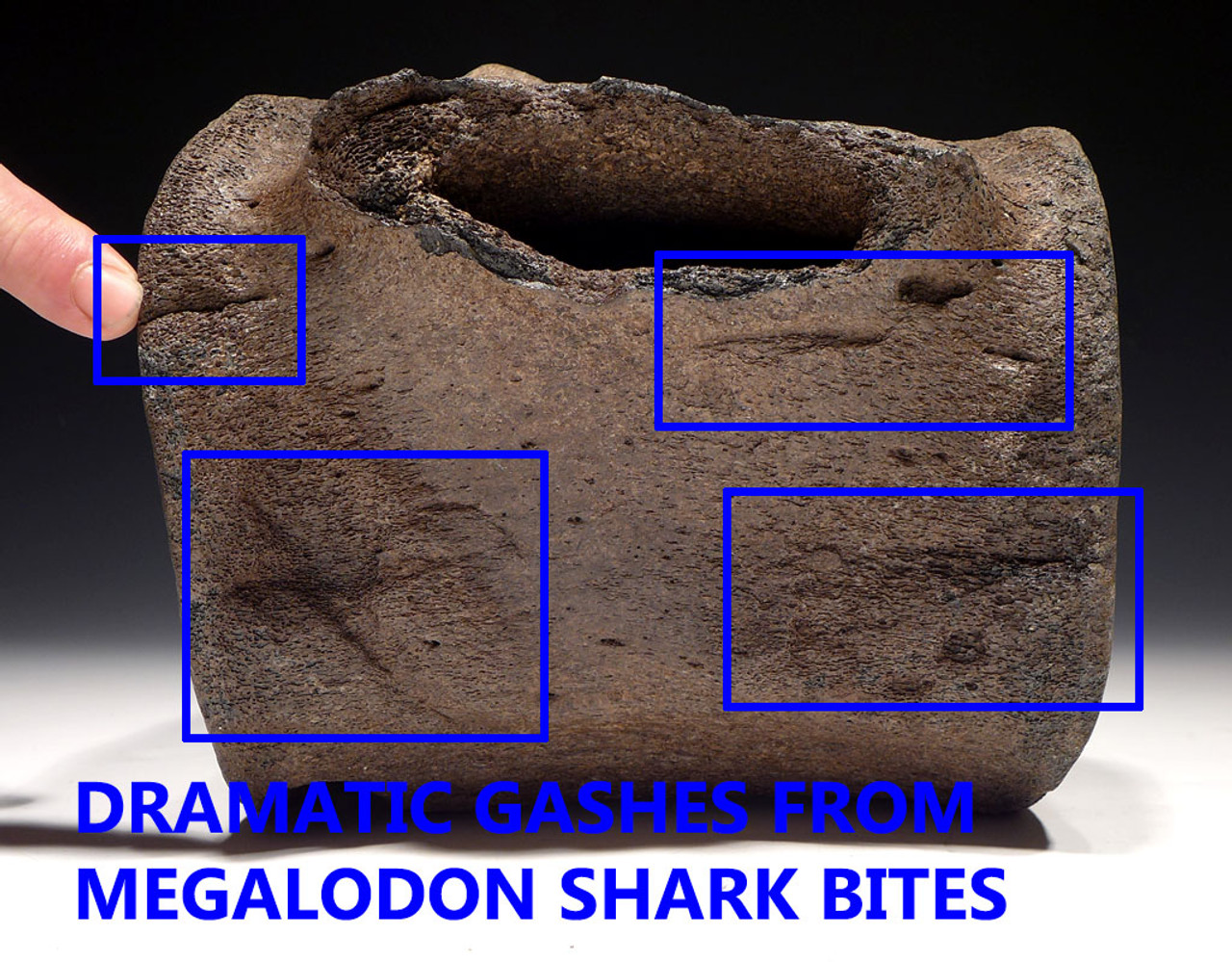 WH027  - RARE GIANT INTACT FOSSIL SPERM WHALE VERTEBRA  WITH MEGALODON SHARK BITES FROM THE MIOCENE / PLIOCENE PERIOD