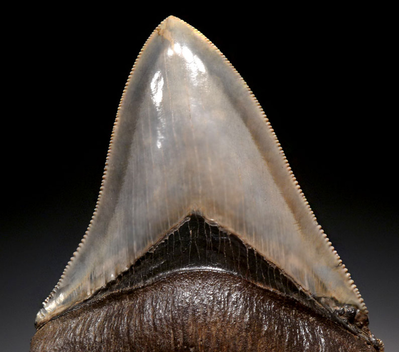 SH6-279 - FINEST INVESTMENT GRADE 3.9 INCH MEGALODON SHARK TOOTH WITH STUNNING PRESERVATION