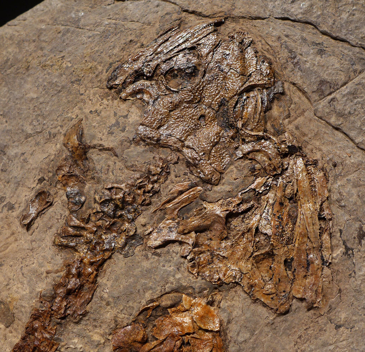 AMPH051 - SUPER RARE NATURAL GROUP OF LARGE LETOVERPETON AMPHIBIAN FOSSIL ON SHALE FROM THE PERMIAN