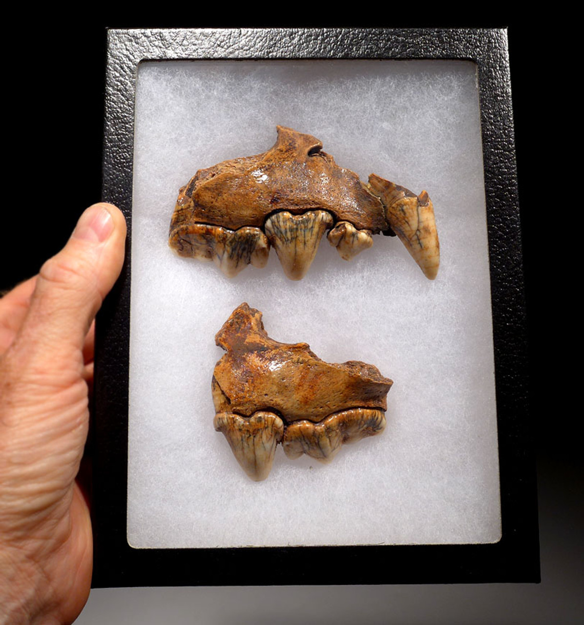 LMX174 - ULTRA RARE CROCUTA EUROPEAN CAVE HYENA  LEFT AND RIGHT FOSSIL MAXILLA JAWS WITH THE FINEST PRESERVATION