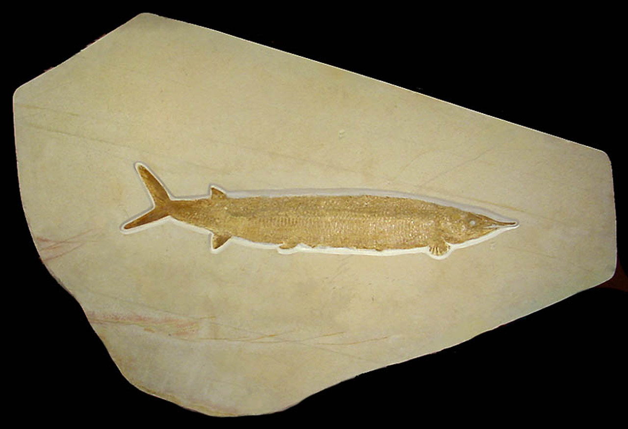 F012 - LARGEST KNOWN EXAMPLE GIANT ASPIDORHYNCHUS JURASSIC FISH FOSSIL