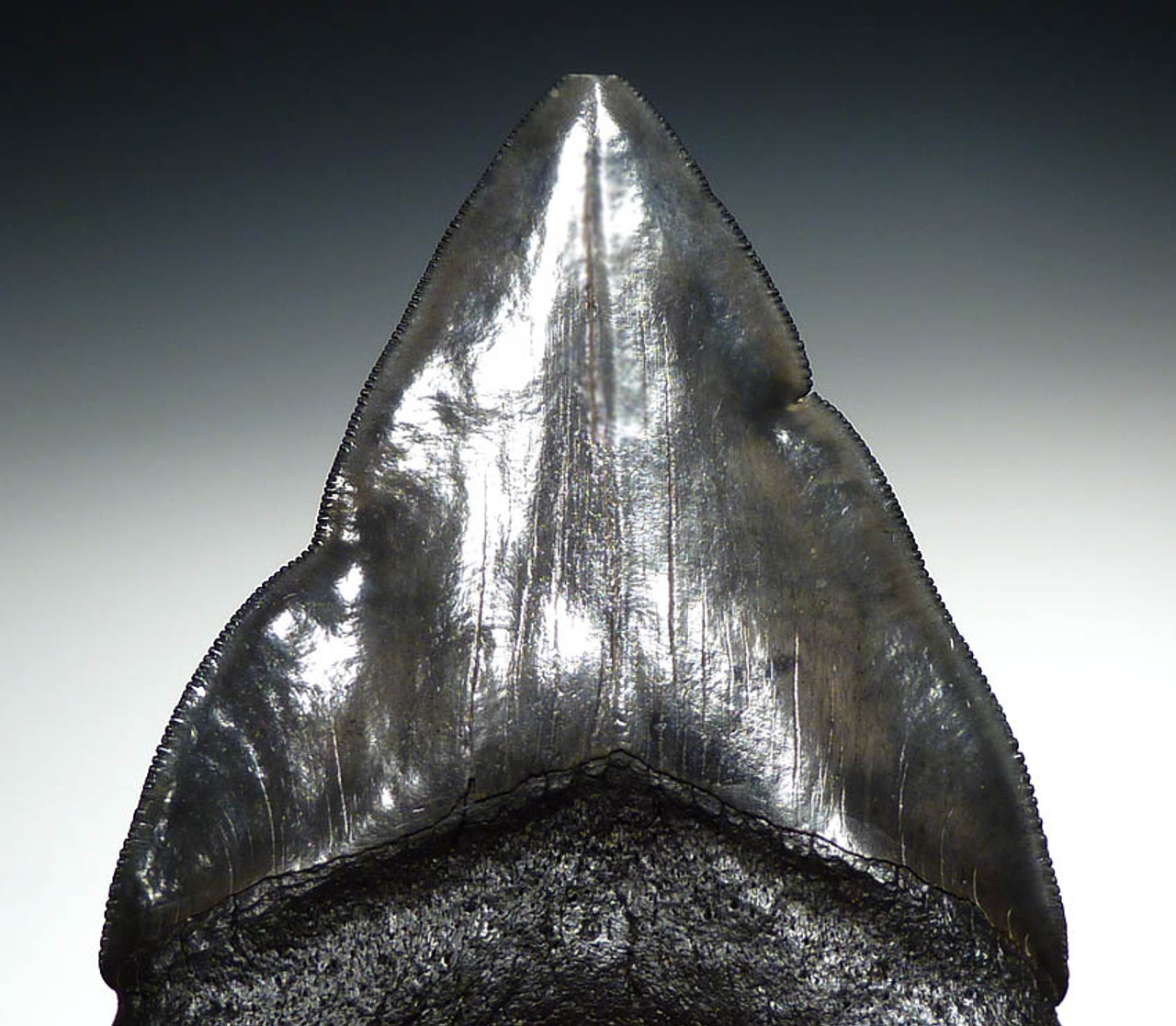 SH6-205 - RARE PATHOLOGICALLY DEFORMED MEGALODON TOOTH WITH DRAMATIC IN-GROWN EDGES