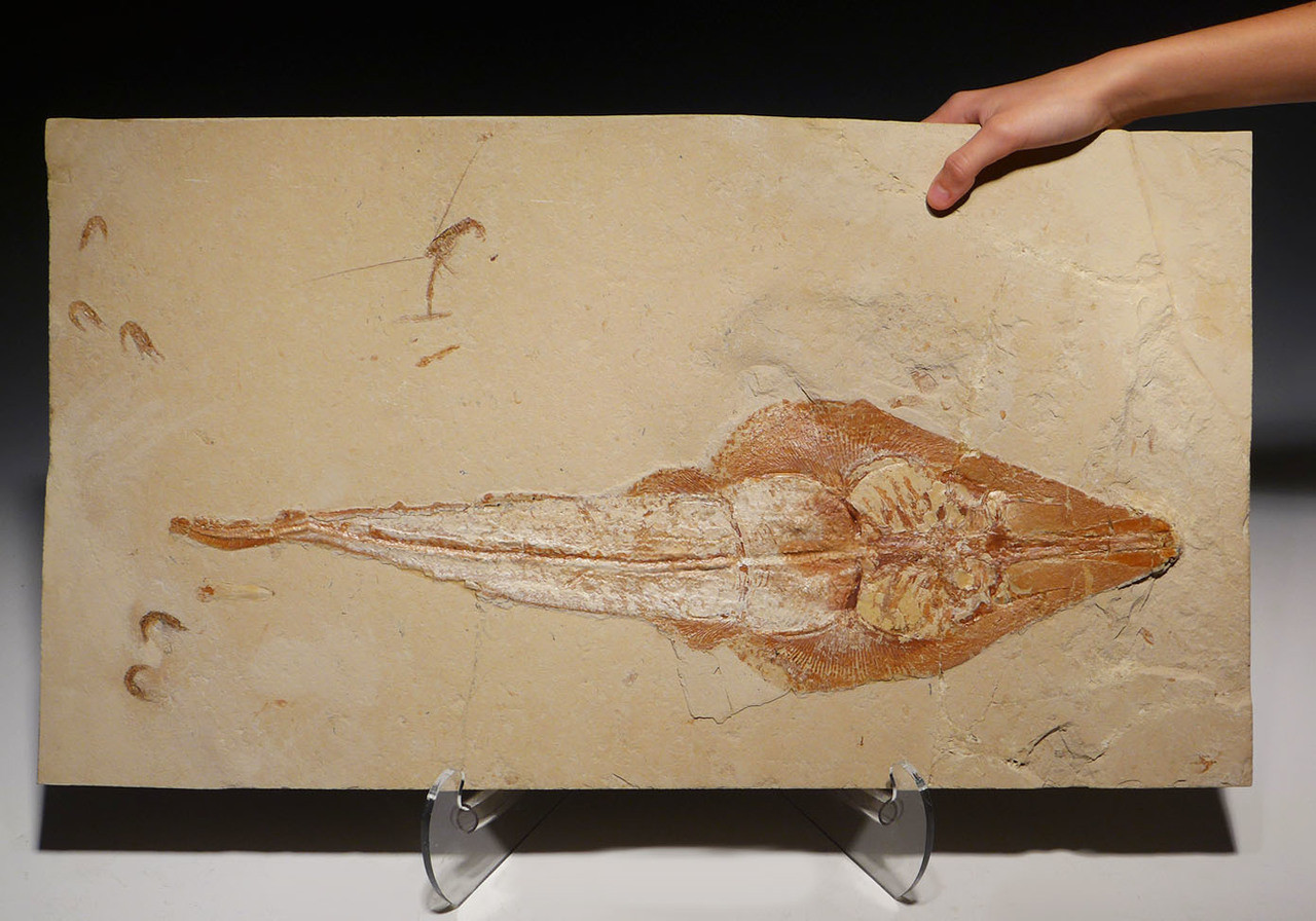 RAY001 - MUSEUM GRADE 22 INCH CRETACEOUS GUITARFISH RAY FOSSIL RHINOBATOS WITH RARE PRESERVATION