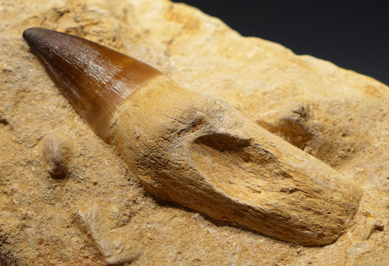 MOSX001 - LARGE MOSASAUR TOOTH WITH ORIGINAL UNBROKEN ROOT
