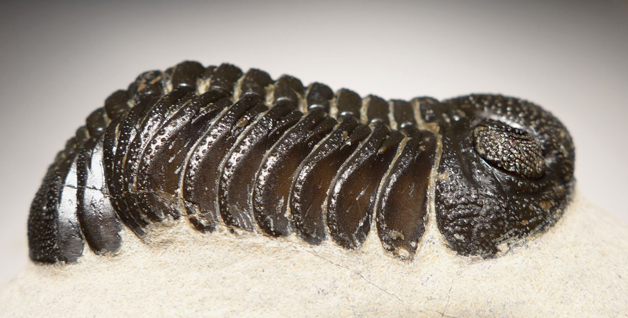 TRX438 - PHACOPS DEVONIAN TRILOBITE FOSSIL WITH EYE LENS DETAIL