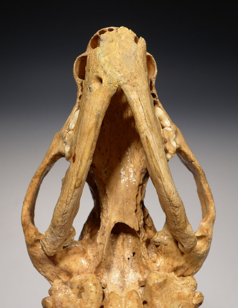LMX183 - ULTRA-RARE ICE AGE FOSSIL BADGER SKULL WITH ORIGINAL MANDIBLE FOUND IN BELGIAN CAVE