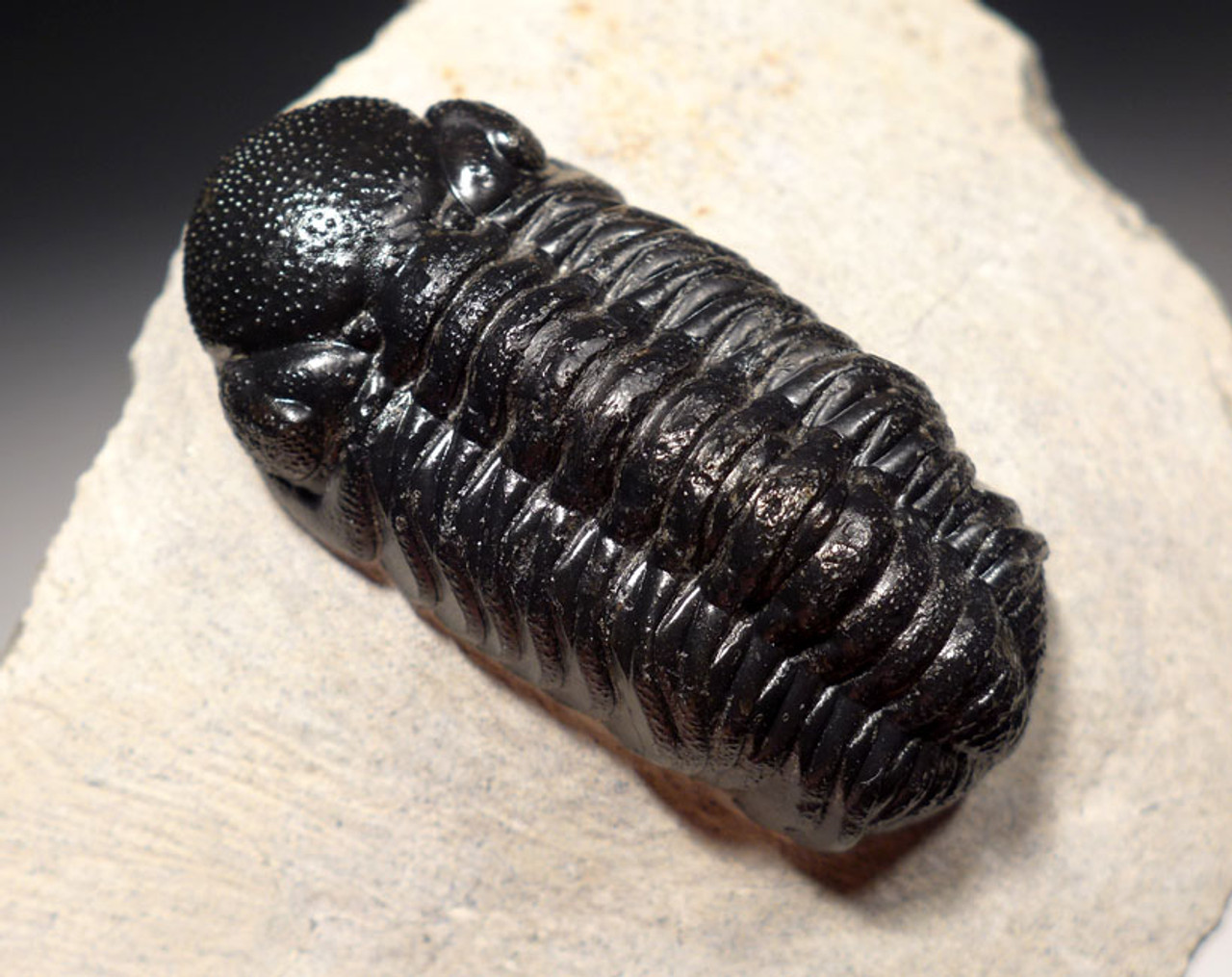 TRX454 - FINEST QUALITY PHACOPS DEVONIAN TRILOBITE FOSSIL WITH EYE LENS DETAIL