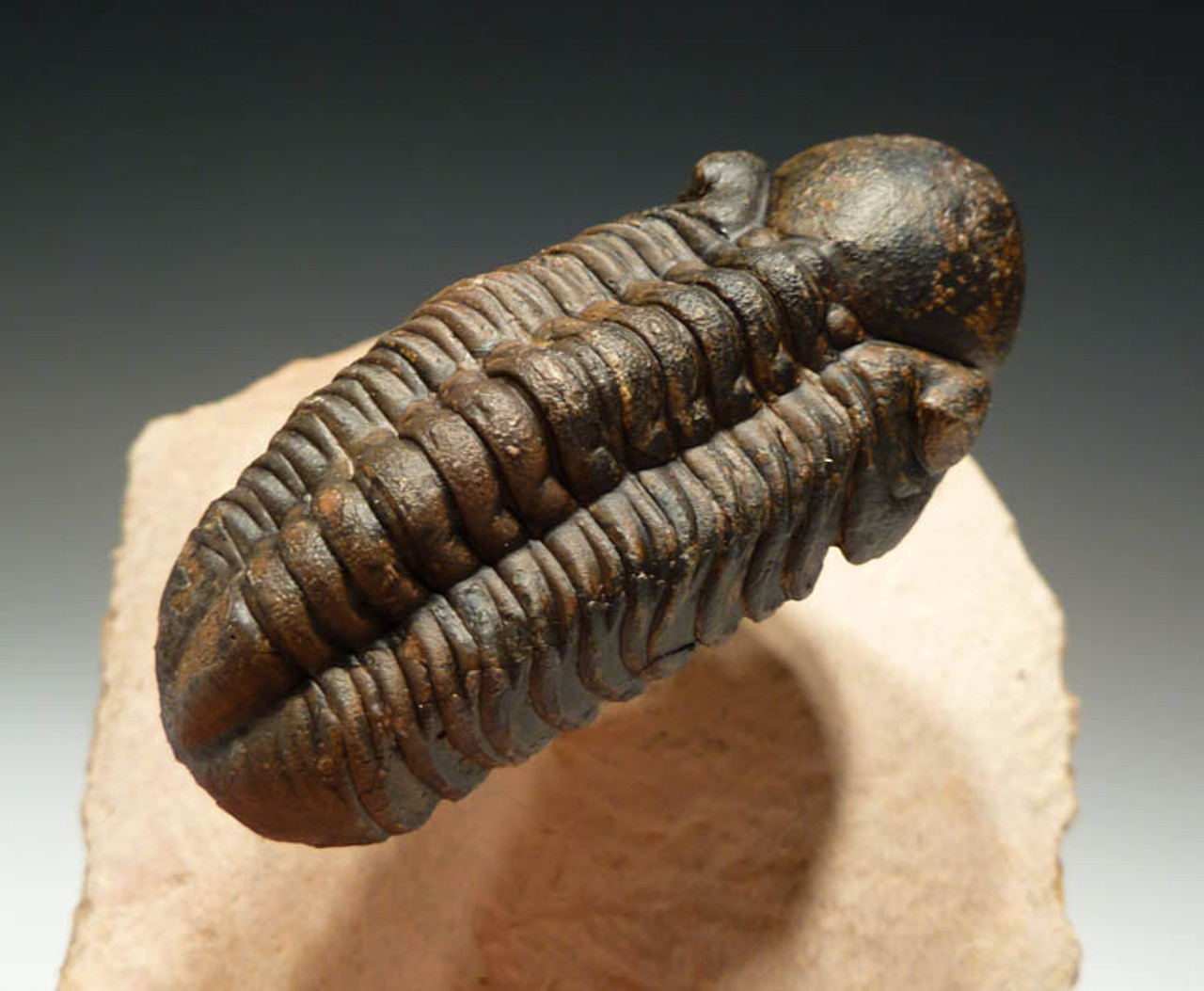 TRX049- FLOATING FREE-STANDING REEDOPS TRILOBITE
