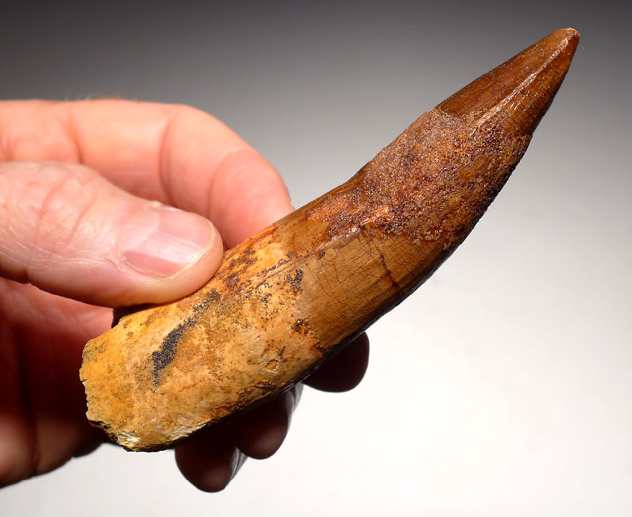 DT5-261 - IMPRESSIVE 4.25 INCH SPINOSAURUS FOSSIL TOOTH FROM A HUGE DINOSAUR