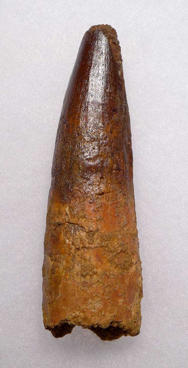 DT5-065 - MONSTER-SIZE 4.5 INCH SPINOSAURUS DINOSAUR TOOTH FROM A HUGE DINOSAUR