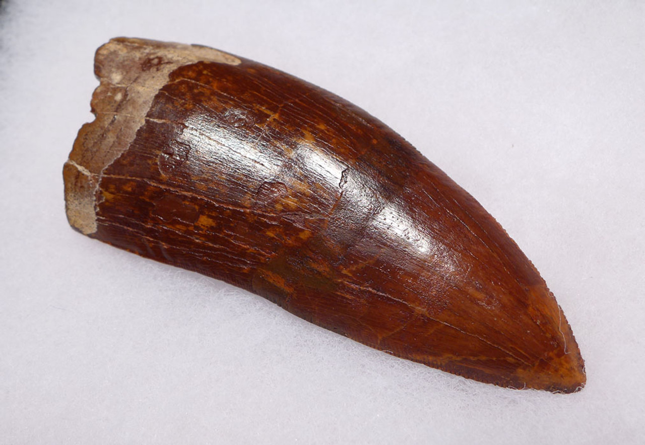 DT2-067 - BEAUTIFUL LARGE 3.5 INCH CARCHARODONTOSAURUS DINOSAUR TOOTH WITH STUNNING ENAMEL