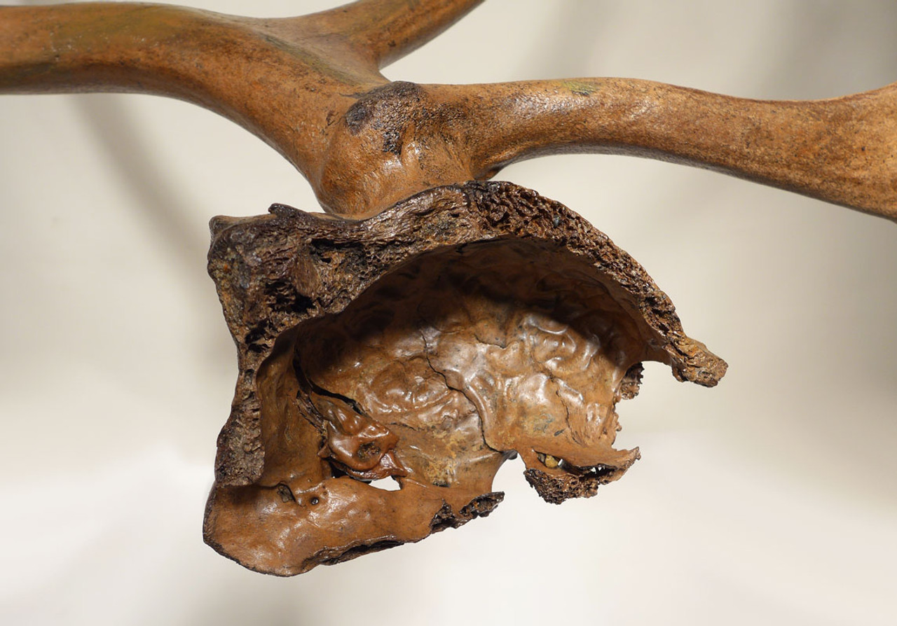 LMX185 - EXTREMELY RARE LEFT AND RIGHT EUROPEAN ICE AGE FOSSIL REINDEER ANTLERS WITH PARTIAL SKULL
