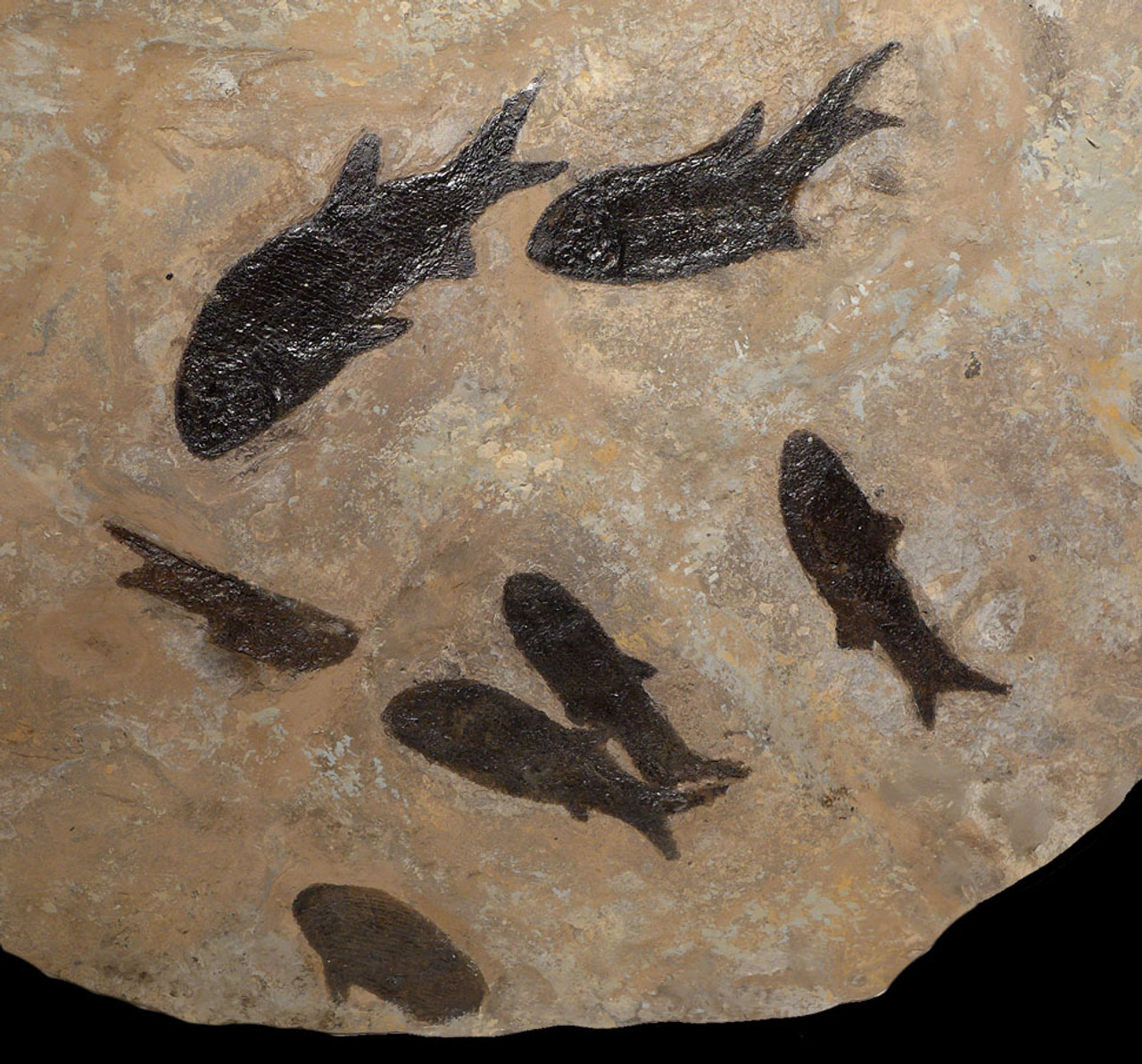 F143 - LARGE MULTIPLE PARAMBLYPTERUS PERMIAN FISH FOSSIL FROM BEFORE THE DINOSAURS