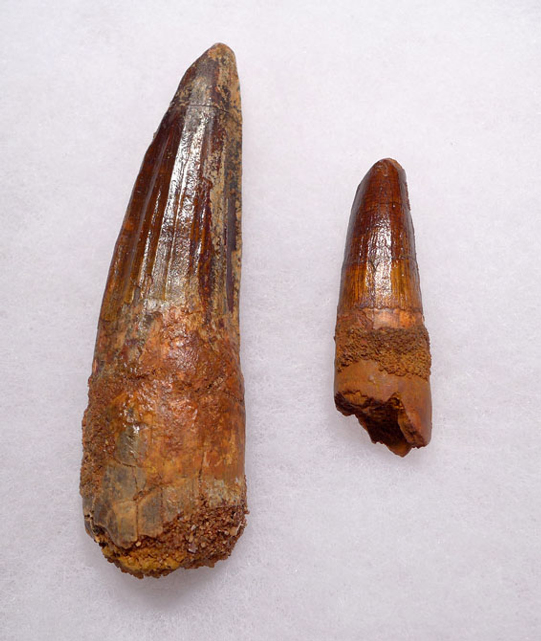 DT5-264 - SET OF TWO SPINOSAURUS ADULT AND BABY DINOSAUR FOSSIL TEETH