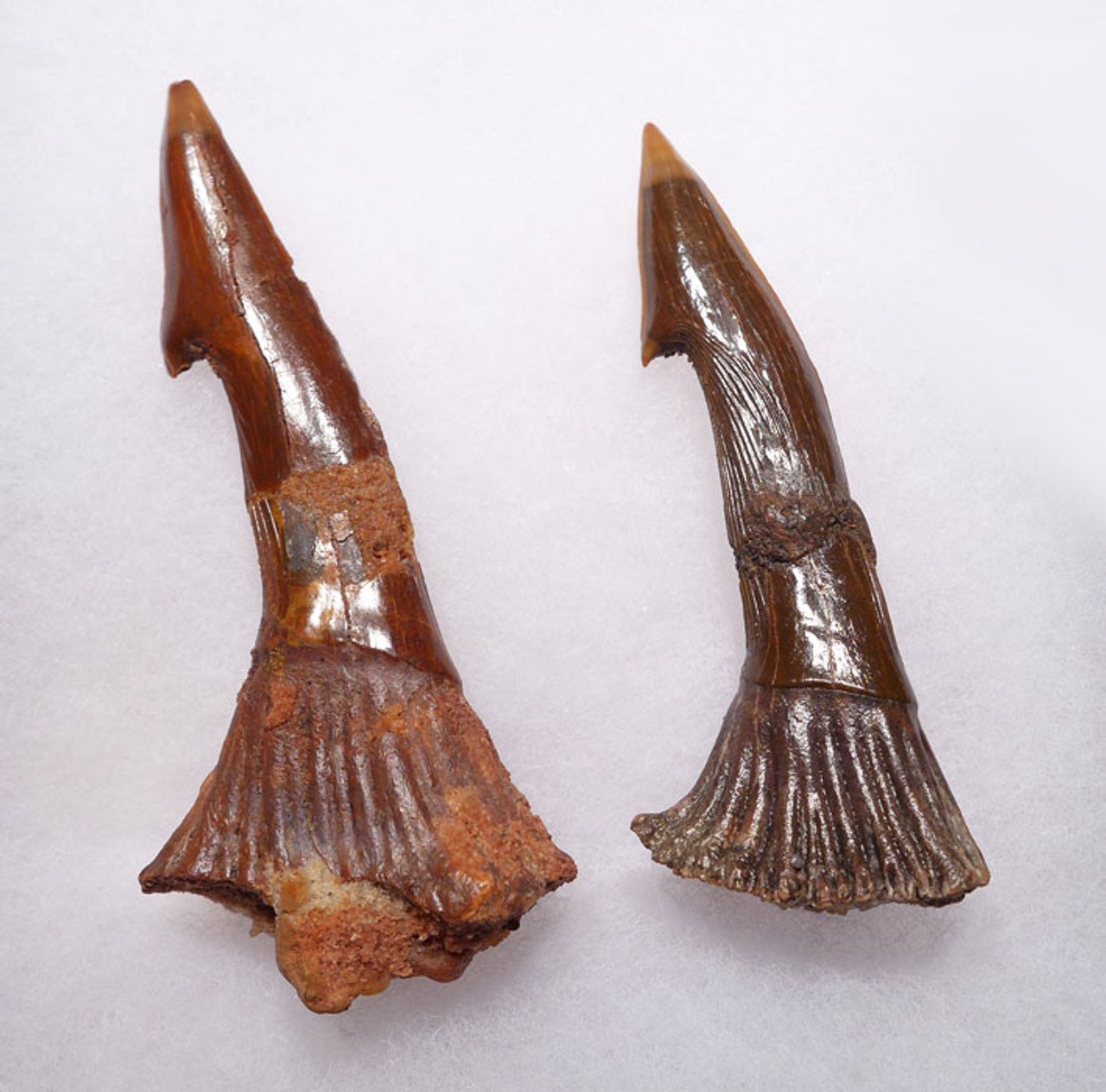 SHX046 - PAIR OF LARGE CRETACEOUS SAWSHARK ROSTRAL FOSSIL TEETH FROM ONCHOPRISTIS