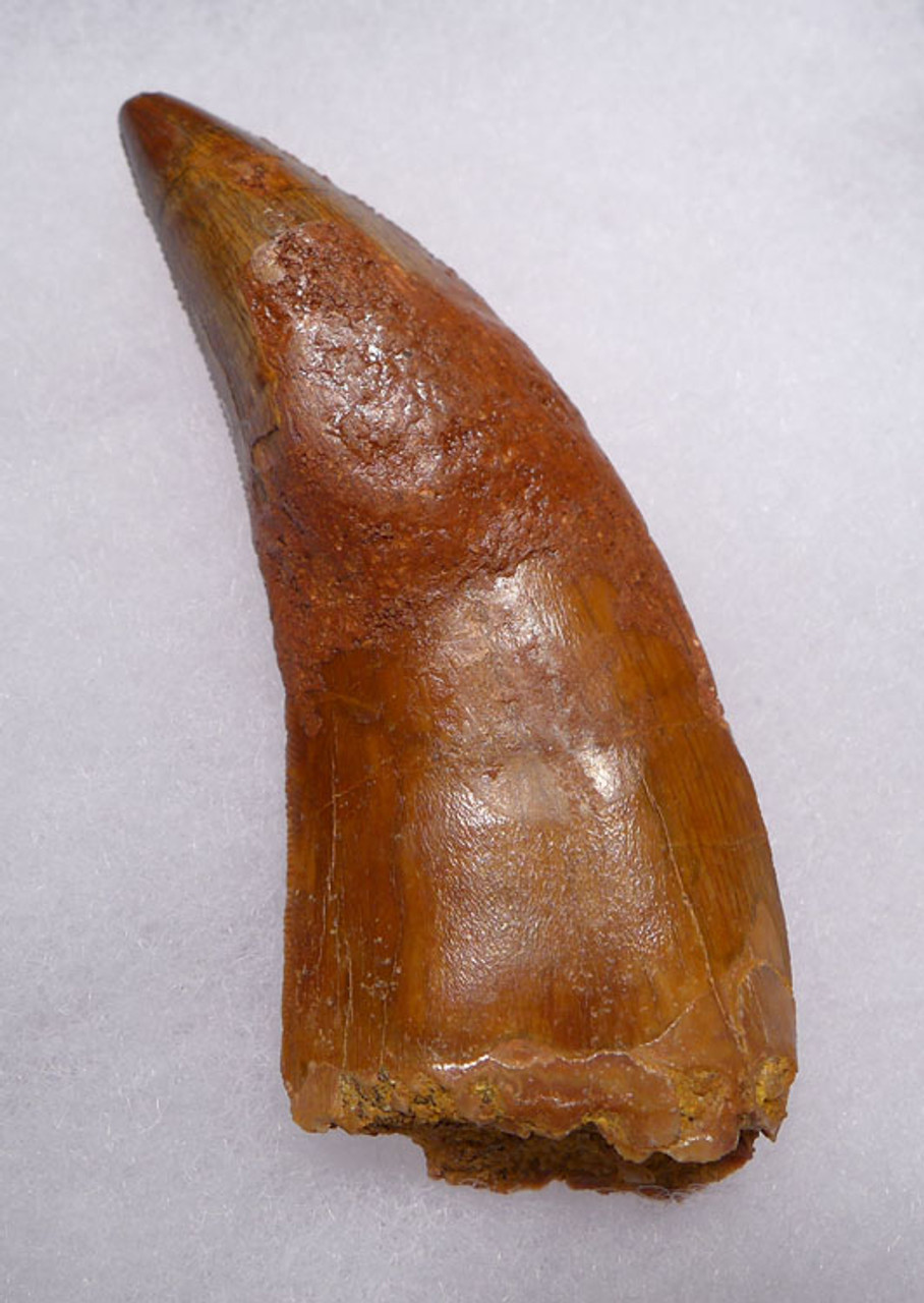DT2-078 - LARGEST MEAT-EATING DINOSAUR CARCHARODONTOSAURUS FOSSIL TOOTH COMPOSITE
