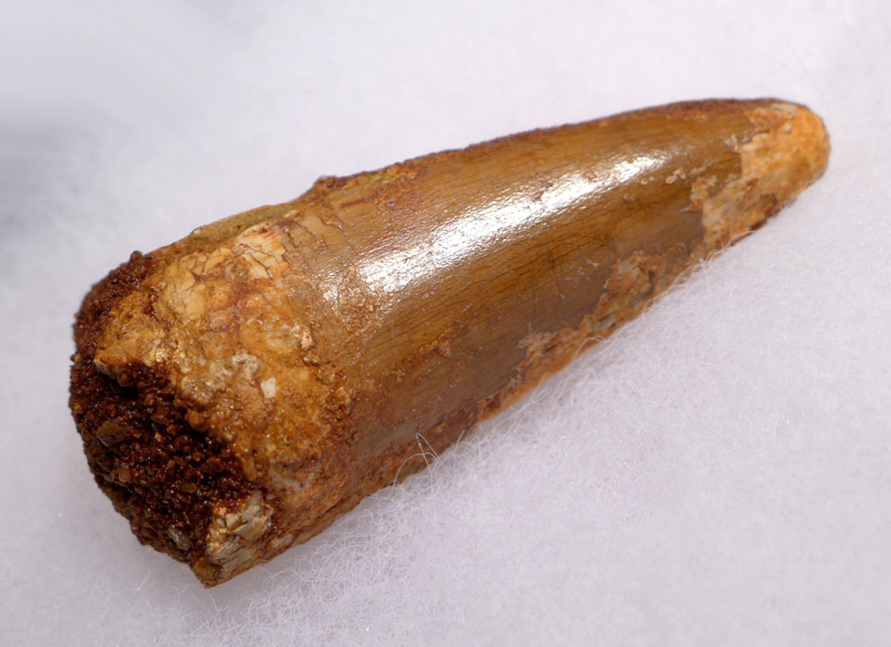 DT2-073 - CARCHARODONTOSAURUS FOSSIL DINOSAUR TOOTH