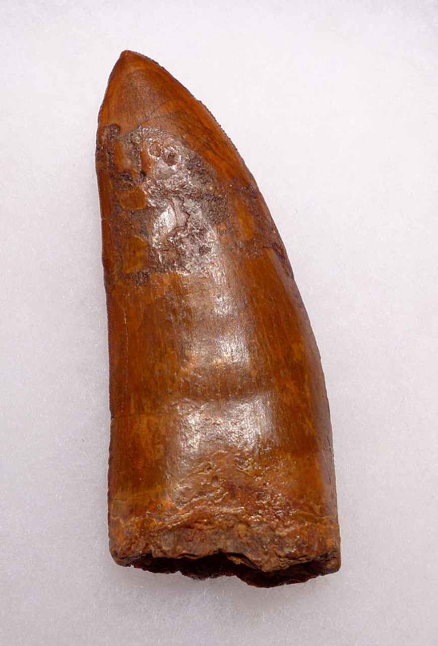 DT2-068 - LARGE 3.75 INCH CARCHARODONTOSAURUS FOSSIL TOOTH COMPOSITE FROM THE LARGEST MEAT-EATING DINOSAUR
