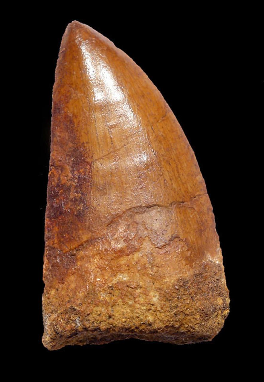 DT2-077 - CHOICE QUALITY 2.5 INCH GOLDEN CARCHARODONTOSAURUS FOSSIL DINOSAUR TOOTH