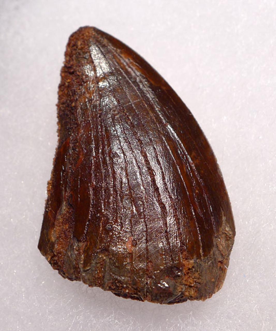 DT2-072 - UNBROKEN 1.75 INCH UNBROKEN CARCHARODONTOSAURUS FOSSIL DINOSAUR TOOTH