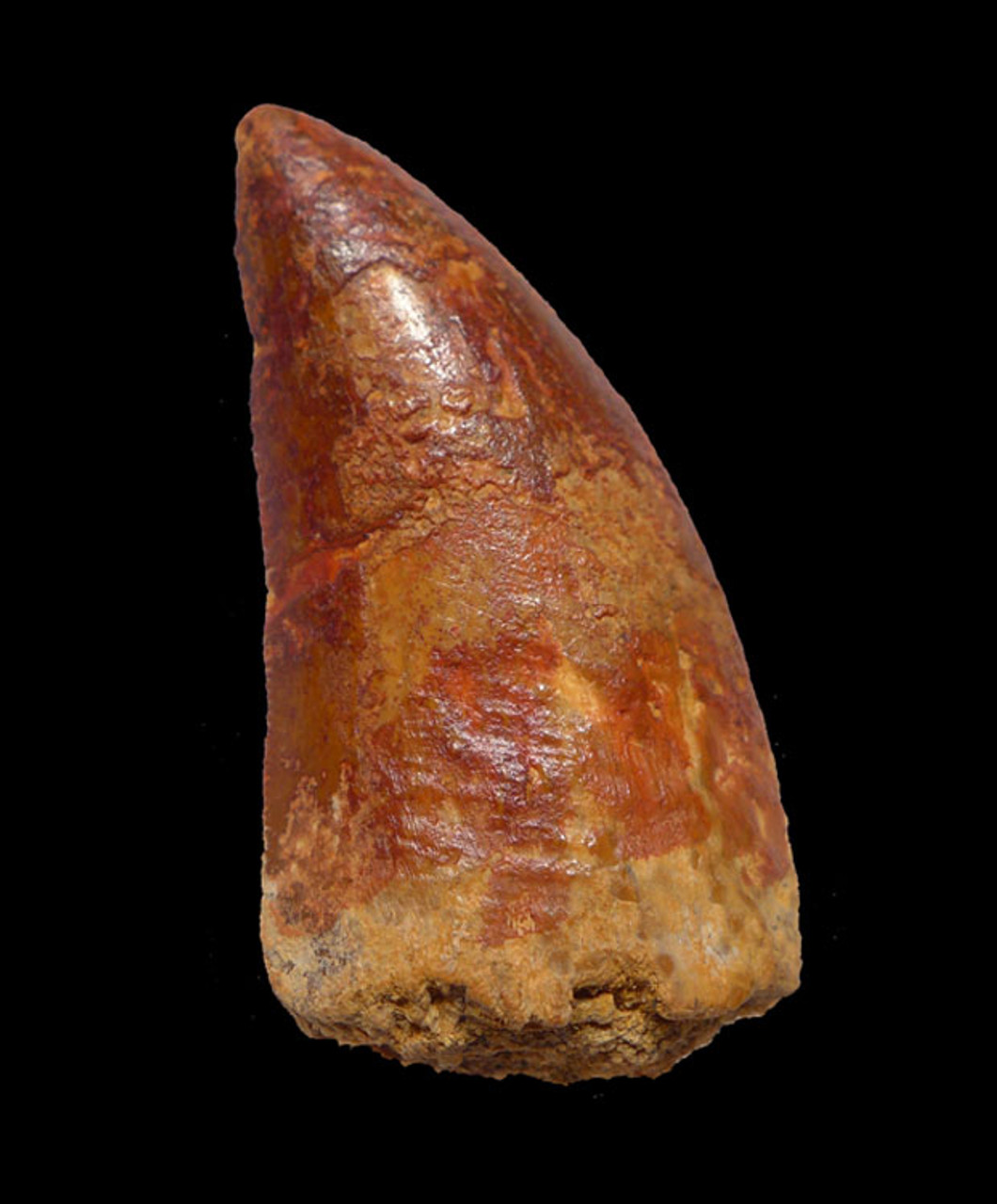 DT2-076 - 2 INCH UNBROKEN CARCHARODONTOSAURUS FOSSIL TOOTH FROM THE LARGEST MEAT-EATING DINOSAUR