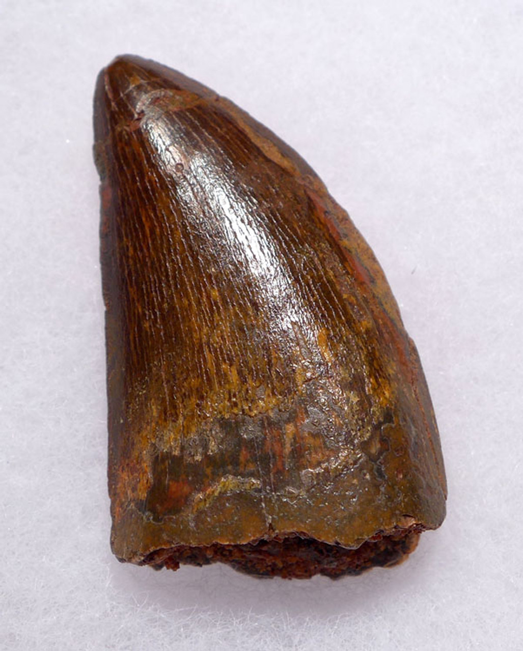 DT2-075 - 1.9 INCH CARCHARODONTOSAURUS FOSSIL TOOTH FROM THE LARGEST MEAT-EATING DINOSAUR