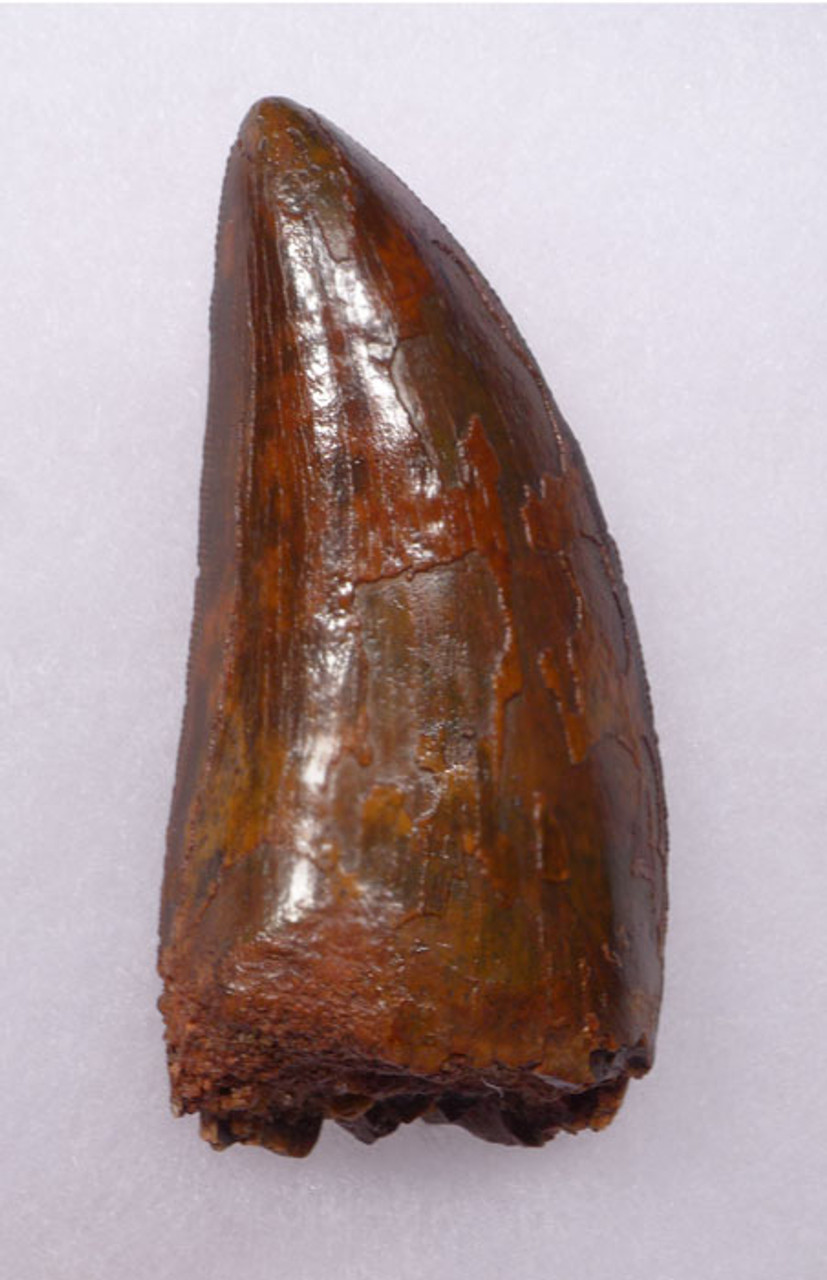DT2-045 - CHOICE QUALITY UNBROKEN 2.95 INCH CARCHARODONTOSAURUS DINOSAUR TOOTH
