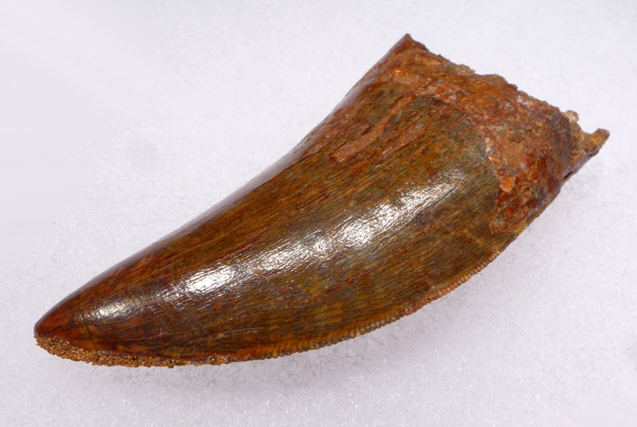 DT2-049 - INVESTMENT QUALITY UNBROKEN 3 INCH CARCHARODONTOSAURUS DINOSAUR TOOTH