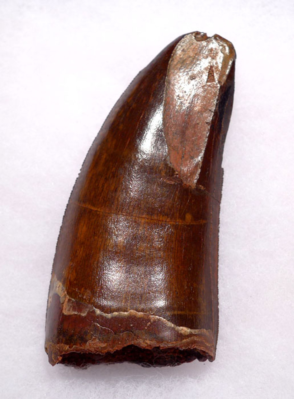 DT2-069 - FINEST QUALITY UNBROKEN 3.25 INCH HUGE CARCHARODONTOSAURUS DINOSAUR TOOTH WITH NATURAL FEEDING WEAR