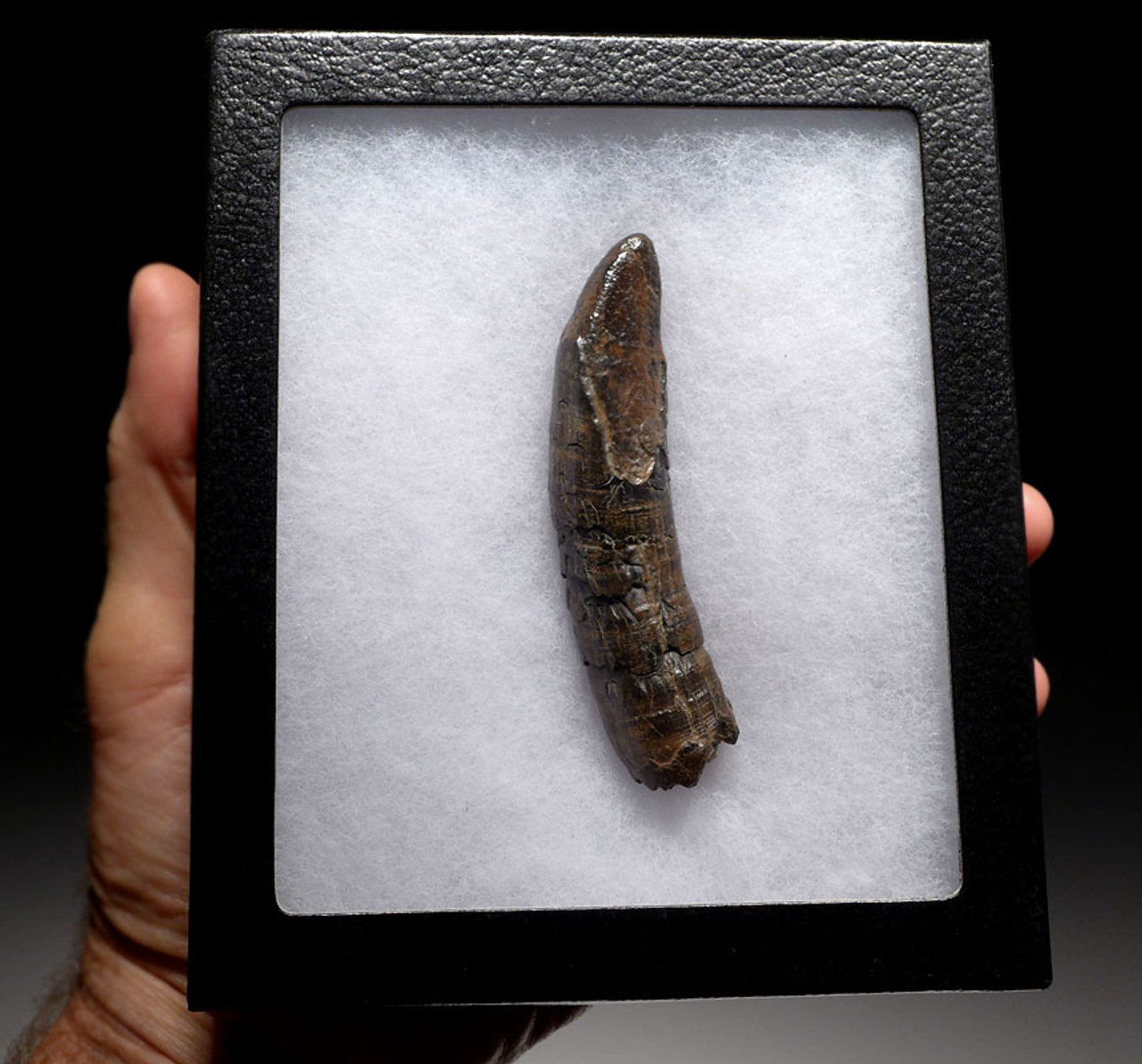WH024 - FOSSIL ODONTOCETE WHALE TOOTH FROM THE MIOCENE