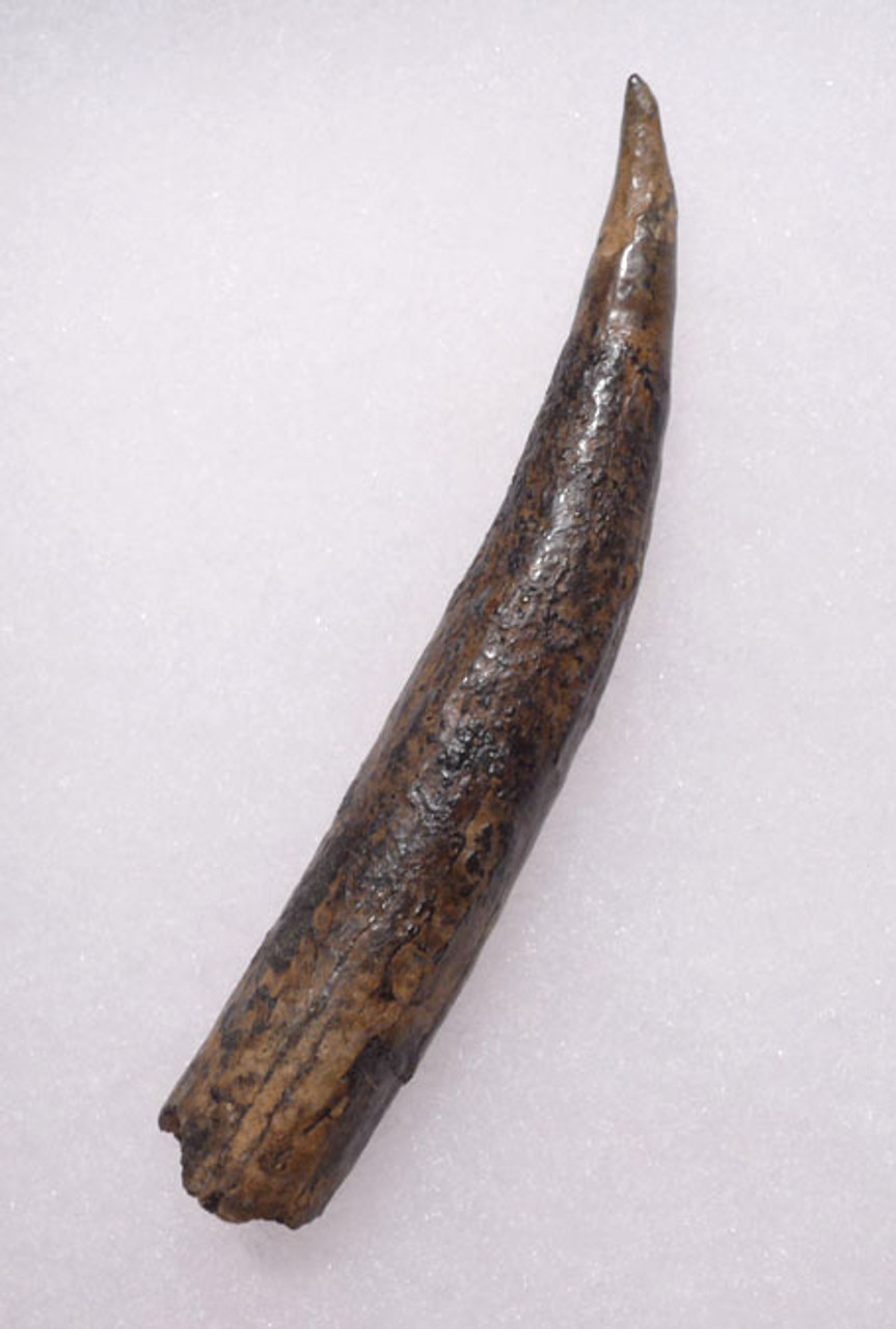 WH016 - INTACT AND COMPLETE FOSSIL ODONTOCETE WHALE TOOTH WITH SHARP TIP AND HOLLOW ROOT