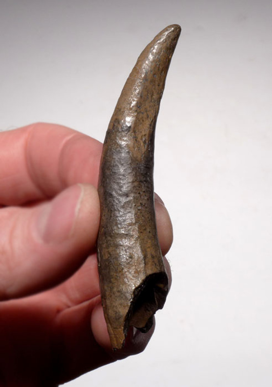 WH015 - INTACT AND COMPLETE FOSSIL ODONTOCETE WHALE TOOTH WITH SHARP TIP AND HOLLOW ROOT