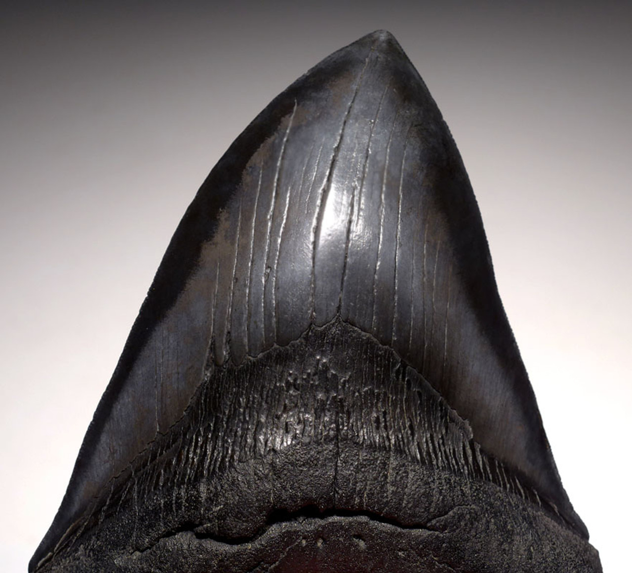 SH6-349 -  INVESTMENT CLASS NEARLY 6 INCH MEGALODON SHARK TOOTH WITH MIDNIGHT BLACK MOTTLED ENAMEL