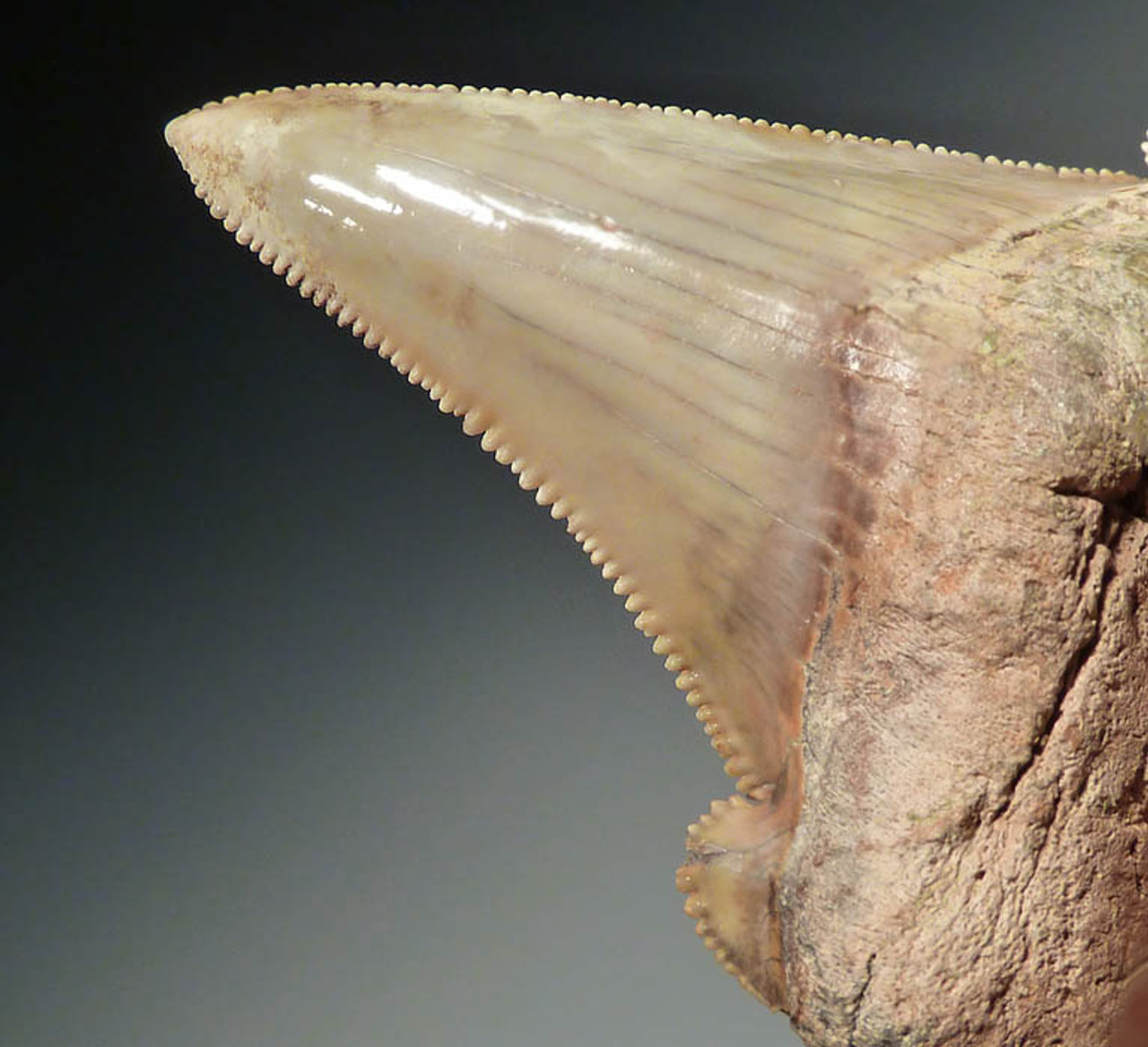 SHX023 - RARE WHITE CHOICE GRADE AURICULATUS PREHISTORIC SHARK TOOTH