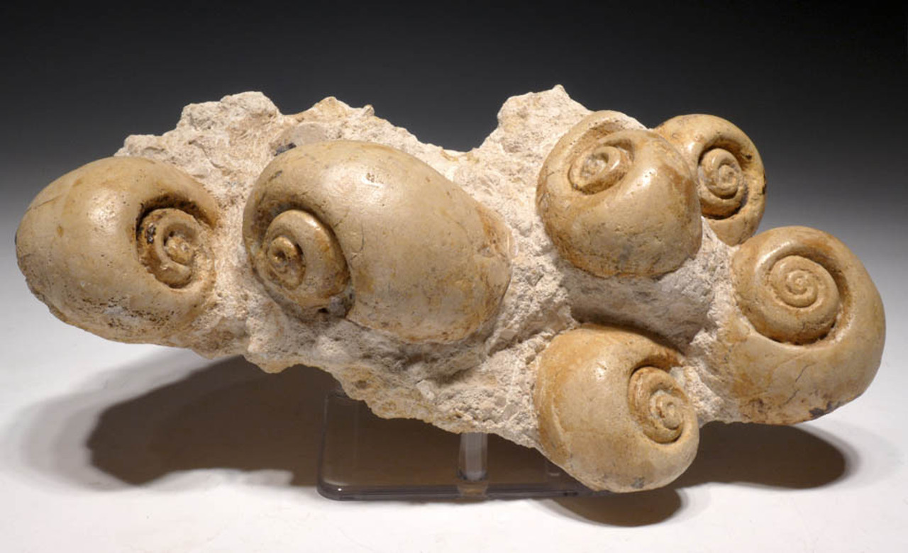 GA054 - LARGE NATURAL JURASSIC SEA SNAIL FOSSIL GROUP FROM FRANCE