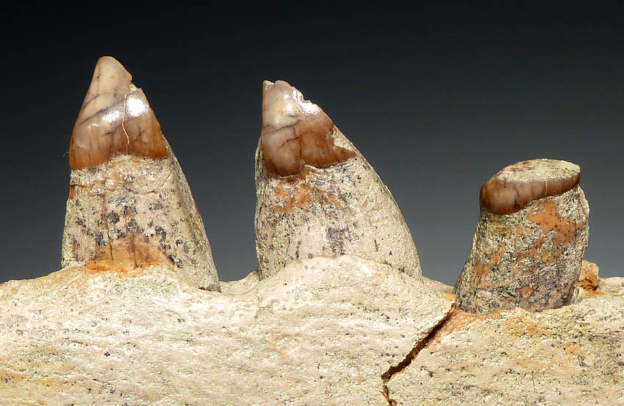 MVX001 - MIOCENE FOSSIL ALLODESMUS SEA LION JAW WITH ORIGINAL TEETH FROM SHARK TOOTH HILL, CALIFORNIA, U.S.A.