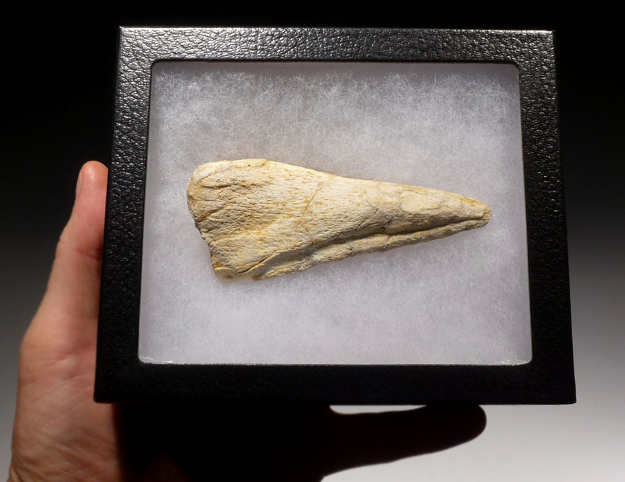 DCX007 - LARGE COMPLETE SPINOSAURUS FOSSIL DINOSAUR TOE CLAW IN RARE WHITE COLOR