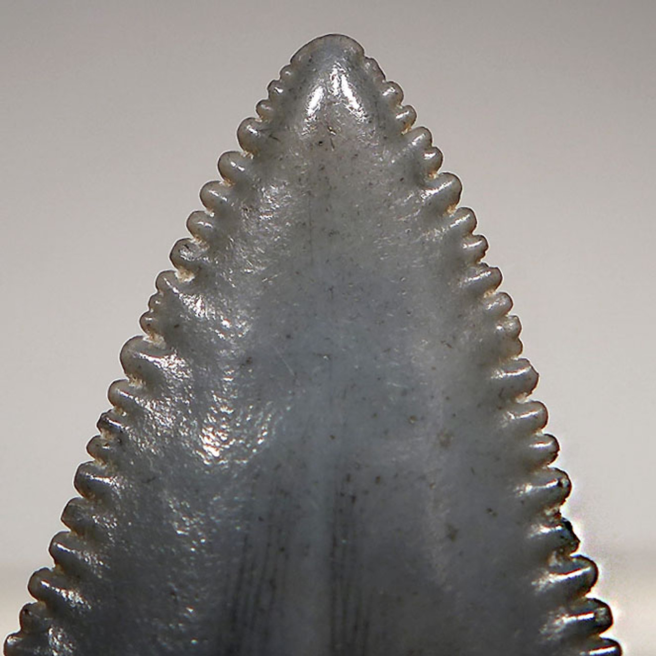 SHX047  - INVESTMENT GRADE 2.15 INCH FOSSIL GREAT WHITE SHARK TOOTH FROM SOUTH CAROLINA