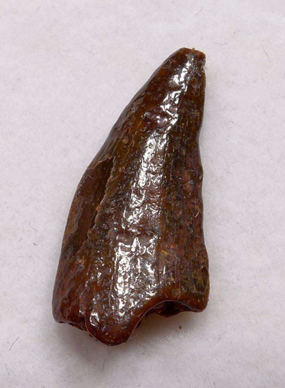 "DT6-253 - PARTIALLY DIGESTED  INTACT DROMAEOSAUR "" RAPTOR "" TOOTH FROM BEING SWALLOWED DURING FEEDING"