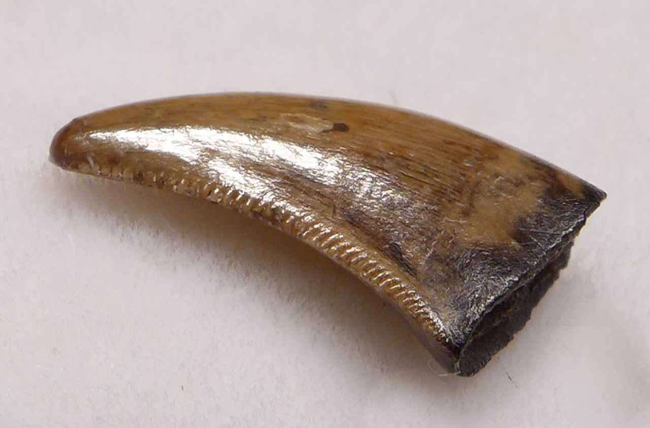"DT6-255 - FINEST QUALITY SAURORNITHOLESTES DROMAEOSAUR ""RAPTOR"" DINOSAUR TOOTH FROM THE TWO MEDICINE FORMATION"