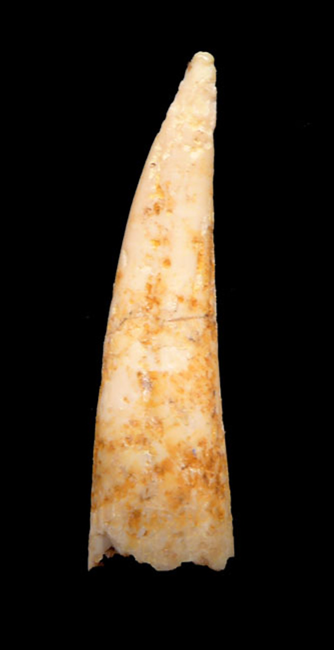 DT4-087 - INTACT CRETACEOUS PTERODACTYL PTEROSAUR TOOTH IN RARE CREAM WHITE COLOR