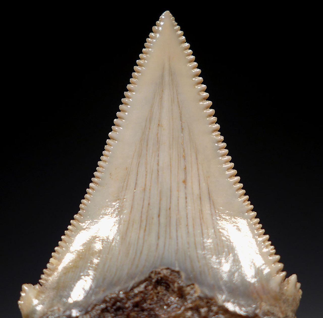 SHX049 - COLLECTOR GRADE CARCHAROCLES ANGUSTIDENS FOSSIL SHARK TOOTH FROM THE LOWER JAW